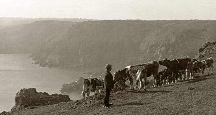 Grazing Cattle at Icart, Guernsey circa 1930's